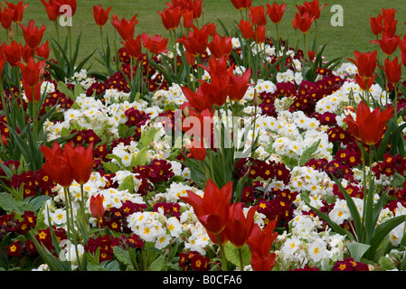 Display of Scarlet tulips and red and white primulas taken at Southport Botanic Gardens, Merseyside, UK in Spring - Stock Photo