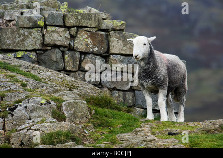 Herdwick sheep at Hard Knott Fort in the English Lake District. - Stock Photo