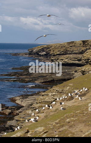 Black browed Albatross Diomedea melanophoris Falkland Islands view over colony along coast - Stock Photo