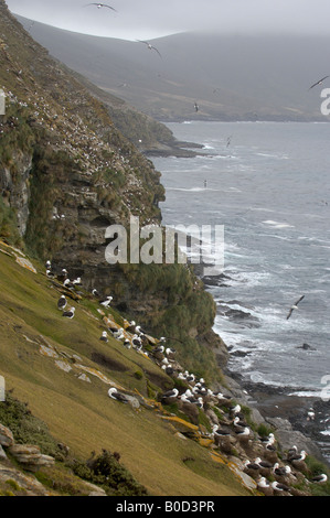 Black browed Albatross Diomedea melanophoris Falkland Islands view over colony along coastline misty day - Stock Photo
