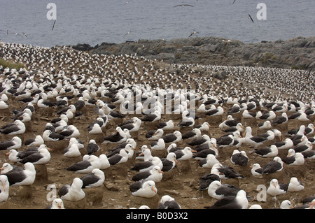 Black browed Albatross Diomedea melanophoris Falkland Islands view over colony Steeple Jason Island - Stock Photo