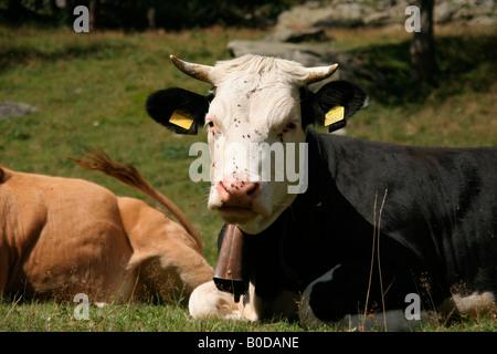 A cow sleeping in the Alps. Rifugio Willy Jervis, Val Pellice, Piemonte, Italy - Stock Photo