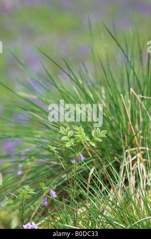 Wild grasses in a bluebell wood, Wiltshire, UK - Stock Photo