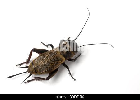 A female Field cricket (Gryllus campestris) photographed in the studio. Femelle de grillon champêtre photographiée - Stock Photo