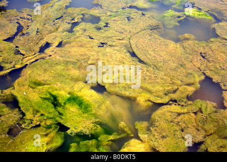 Filamentous algae growing in a polluted pool - Stock Photo
