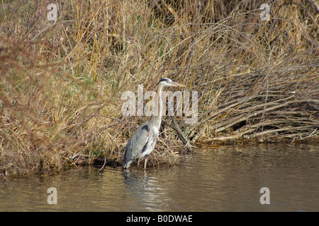 Great Blue Heron walks the shore line of a pond - Stock Photo