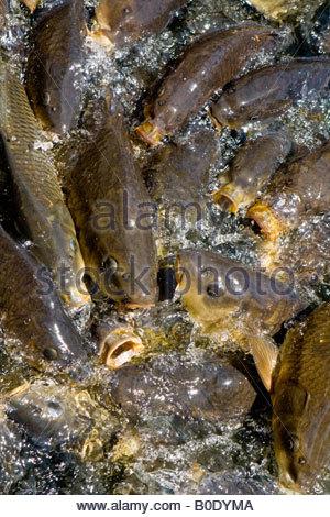 Coy carp stock photo royalty free image 309788586 alamy for Coy carp pond