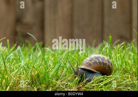 A garden snail as it moves across the lawn - Stock Photo