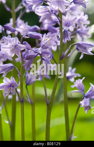 Spanish bluebells (Hyacinthoides hispanica), UK. - Stock Photo