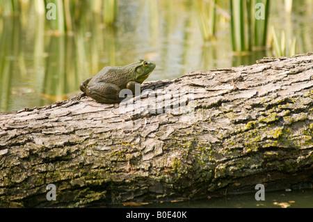 American bullfrog on log