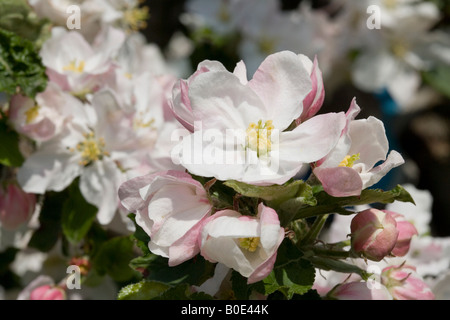 Blooming apple tree in an orchard - Stock Photo