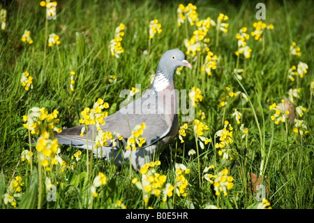 Hyde Park Spring scene of a pigeon in a bed of yellow flowers, daffodils in London, Great Britain, UK, Europe - Stock Photo