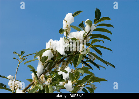 Laurel Bush in flower with snow on it and deep blue sky - Stock Photo