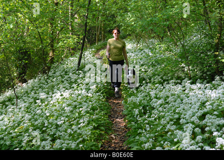 Woman walking her dog through Wild Garlic in Shropshire woodland - Stock Photo