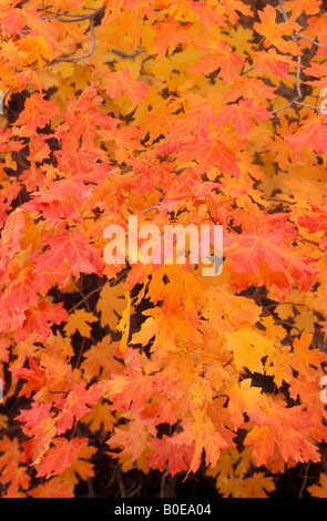 Soft light on orange and yellow bigtooth maple leaves in Upper Zion Canyon Zion National Park Utah - Stock Photo