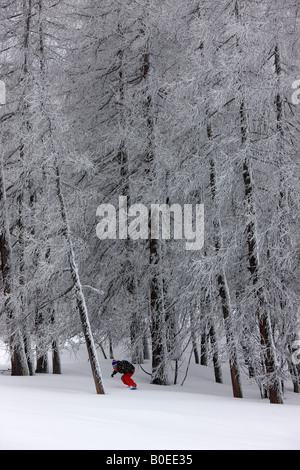 Snowboarder rides off piste through tall pine trees. - Stock Photo