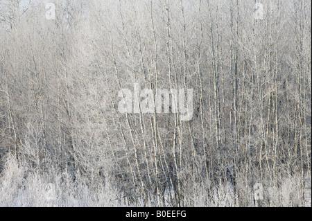 bigtooth aspen (Populus grandidentata), Fertile Sand Hills, Minnesota - Stock Photo
