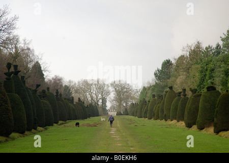 Woman walks dogs through Yew Tree Avenue a collection of clipped yew trees in Clipsham Lincolnshire UK - Stock Photo