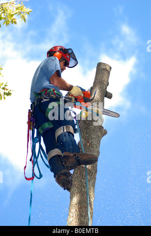 Tree surgeon up in a tree with climbing spikes protective gear ropes and harnesses and chain saw - Stock Photo