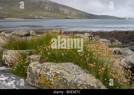 Thrift on Vatersay in the Outer Hebrides, Scotland - Stock Photo