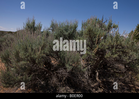 Big Sagebrush Artemisia tridentata a common North American desert shrub Hovenweep National Monument Colorado and - Stock Photo