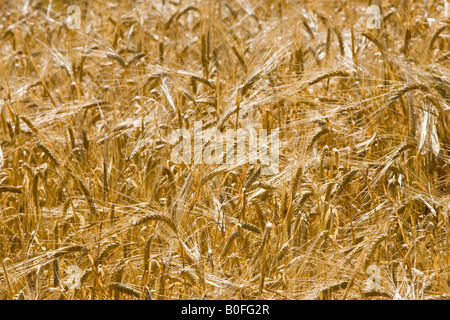 Ripening barley Bourton on the Water The Cotswolds Gloucetershire United Kingdom - Stock Photo