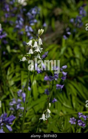 White bluebell flowers in scotland in spring stock photo 17553233 white and blue bluebell flowers in scotland in spring stock photo mightylinksfo Gallery