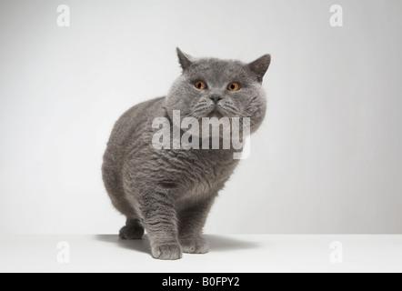 Portrait of large grey cat - Stock Photo