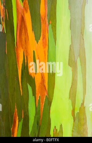 Rainbow Eucalyptus bark Eucalyptus deglupta Mindanao Gum Island of Kauai Hawaii - Stock Photo