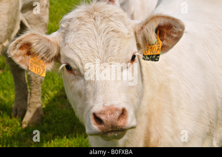 Portrait of a Charolais calf tagged in each ear. - Stock Photo