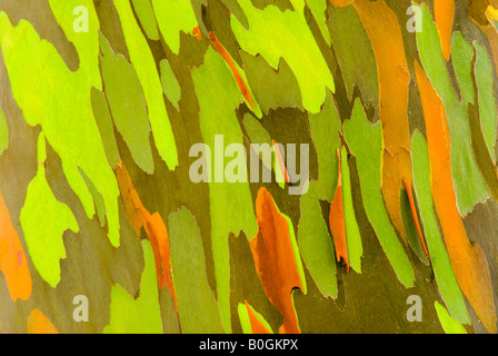 Rainbow Eucalyptus bark Eucalyptus deglupta Mindanao Gum Island of Kauai Hawaii - Stock Photo