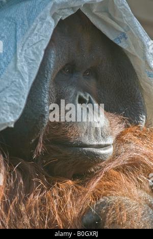 Bornean Orang-Utan (Pongo pygmaeus pygmaeus) - Stock Photo
