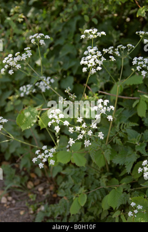 Cow Parsley aka Wild Chervil, Wild Beaked Parsley, and Keck Anthriscus sylvestris - Stock Photo