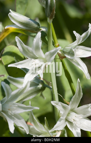 Closeup of Drooping star-of-bethlehem, Ornithogalum nutans, flowers. It is native to Asia - Stock Photo