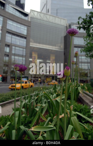 Alliums planted in Columbus Circle in New York opposite the Time Warner Center - Stock Photo