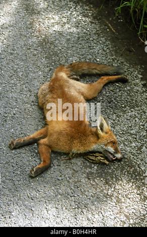 Red Fox roadkill. - Stock Photo