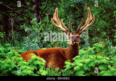 Male Elk or Wapiti (Cervus canadensis), Rocky Mountains, Jasper National Park, Alberta, Canada - Stock Photo