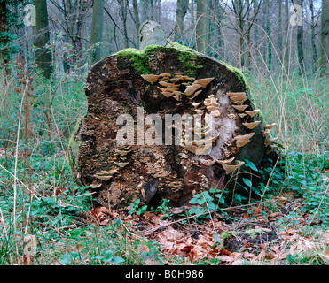 Dead tree trunk covered with Bracket fungi (Fghi) and moss - Stock Photo