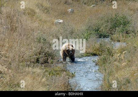 Brown bear Ursus arctos shaking off water after wading through stream China - Stock Photo