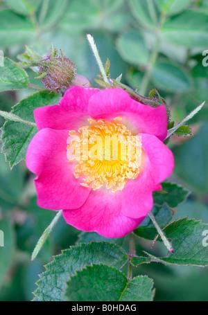 Sweet Briar or Eglantine Rose (Rosa rubiginosa), Taubertal Valley, Germany - Stock Photo