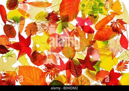 Collection of various autumn coloured leaves - Stock Photo