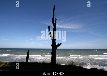 Gespensterwald Ghost Forest, Nienhagen, Mecklenburg-Western Pomerania, Germany, Europe - Stock Photo