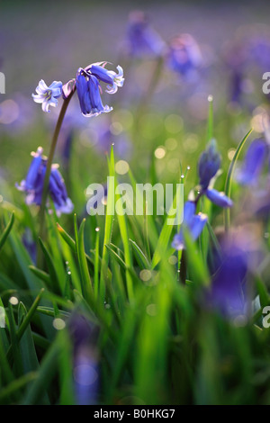 Bluebells at Dawn - Stock Photo