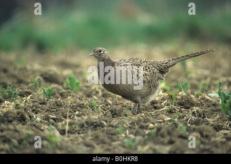 Common Pheasant (Phasianus colchicus) walking over a field - Stock Photo