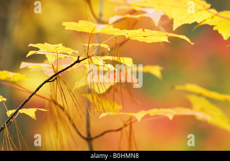 Autumn coloured leaves of a Sugar Maple (Acer saccharum) and dry pine needles (Pinus) during Indian summer in a - Stock Photo