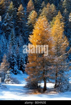 European Larch trees (Larix decidua), Obernberg, Tyrol, Austria, Europe - Stock Photo