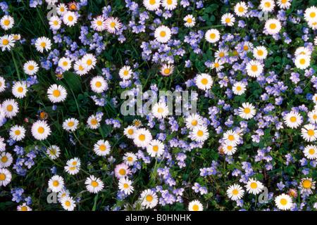 Daisies (Bellis perennis), Ehrenpreis, Tirol, Austria - Stock Photo