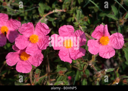 Pink - or Hairy Rockrose (Cistus incanus) - Stock Photo