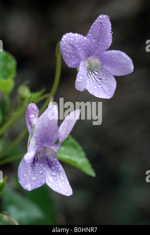 Common Wood Violet or Dog Violet (Viola riviniana), Vomper-Loch, Karwendel Range, Tyrol, Austria, Europe - Stock Photo