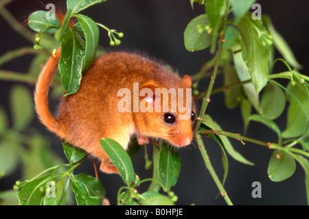 Hazel Dormouse (Muscardinus avellanarius), Schwaz, Tyrol, Austria, Europe - Stock Photo